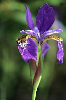 Harold E McCray - Iris