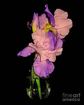 Iris in a Mason Jar by Margaret Newcomb