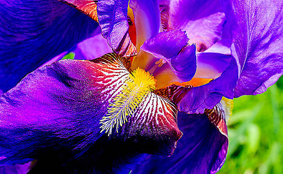 Iris in Bloom by Chris Modlin