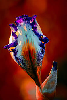 Iris in Red by Tomasz Dziubinski