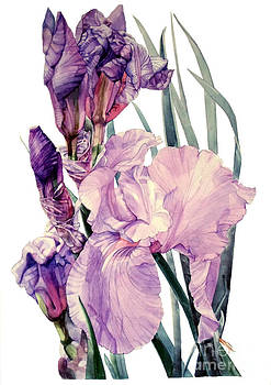 Watercolor of an elegant Tall Bearded Iris in pink and purple I call Iris Joan Sutherland by Greta Corens