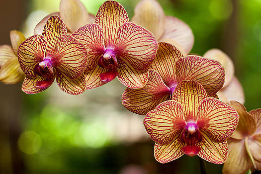 Orchid by Lisa Chorny