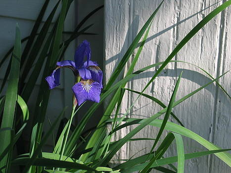 Iris by Mark C Ettinger