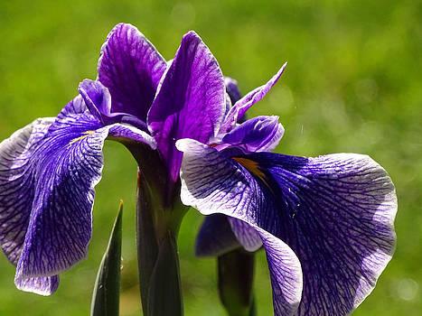 Iris by Nelin Reisman
