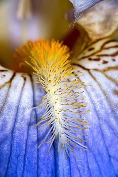 Iris Temptress by Tomasz Dziubinski
