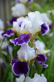 Iris - White and Blue Serenity by Evelyn Collins