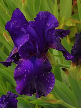Charles Lucas - Iris with Droplets