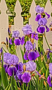 Irises and Picket Fence by Julie Grandfield