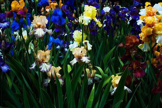 Irises by Shanna Lewis