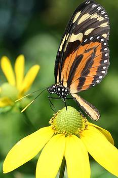 Isabella's Longwing Butterfly by April Wietrecki Green