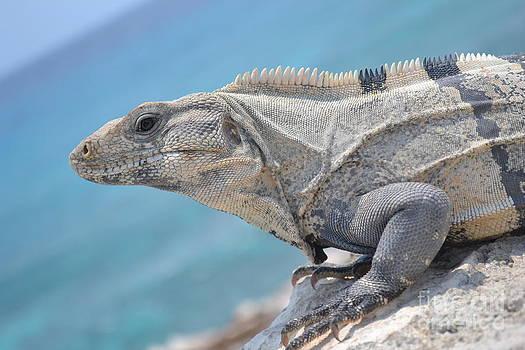Isla Mujeres Iguana by Stephanie Guinn