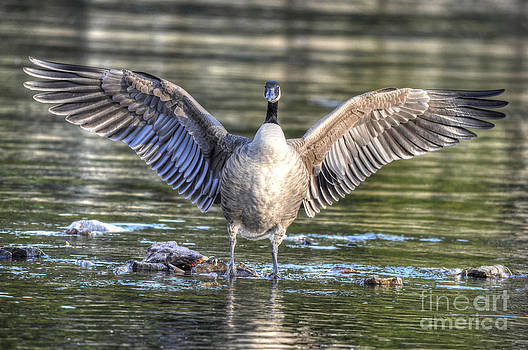 It Was This Big - Canada Goose by Skye Ryan-Evans