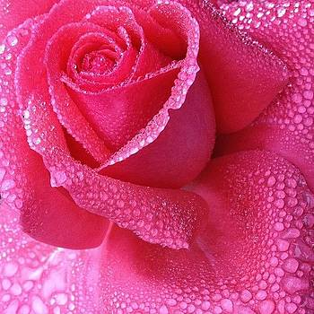 It's Raining Roses by Amy DiPasquale