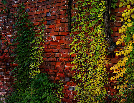 Ivy in autumn colours by Eremia Catalin