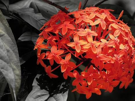 Ixora in Black by Daniel Chowdhury