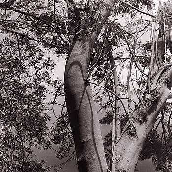Jacaranda Shadows by Susan Smith Evans