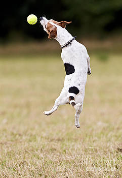 Brian Bevan - Jack Russell Jumping For Ball