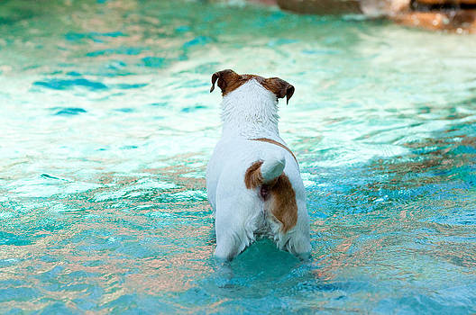 Jack Russell Terrier swimming by Tammy Abrego
