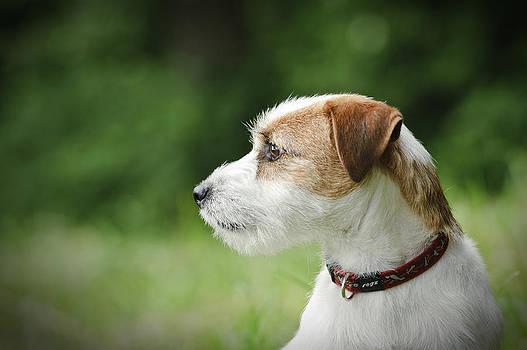 Waldek Dabrowski - Jack Russell Terrier