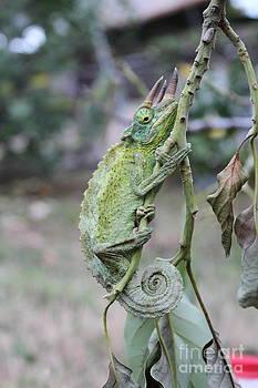 Jackson Chameleon by Sara Ricer