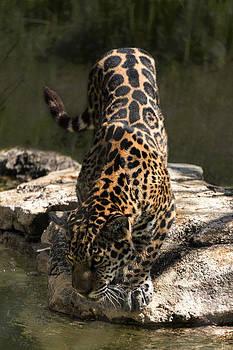 Jaguar Drinking by Lynn Palmer