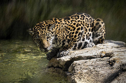 Jaguar on Rock by Lynn Palmer