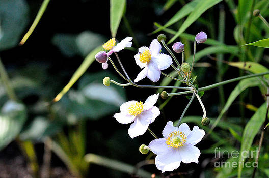 Japanese Anemone by Tanya  Searcy