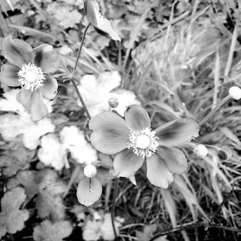 Japanese anemones - infrared by Gemma Geluz