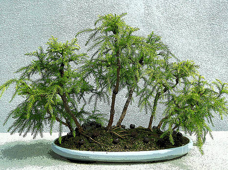 Japanese Cedar Bonsai by Anne Gordon