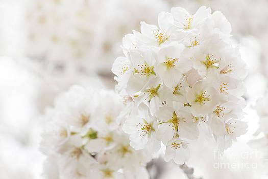 Japanese cherry blossoms - Sakura by Aduldej Sukaram