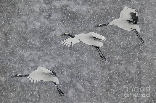 Jean-Louis Klein and Marie-Luce Hubert - Japanese Cranes In Flight