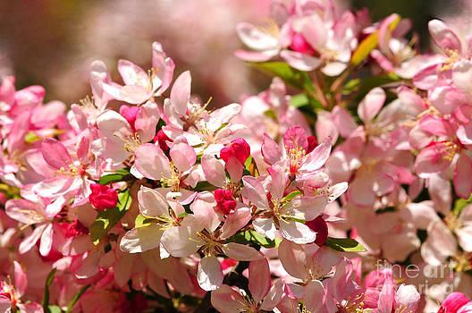 Japanese Flowering Crabapple Tree by Olivia Hardwicke