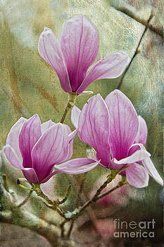 Japanese Magnolias at Avery Island by Bonnie Barry