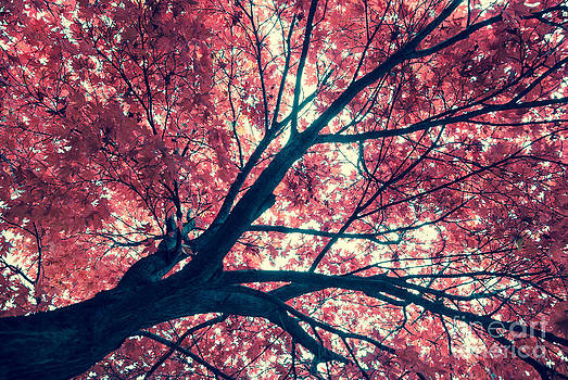 Japanese Maple - Vintage by Hannes Cmarits