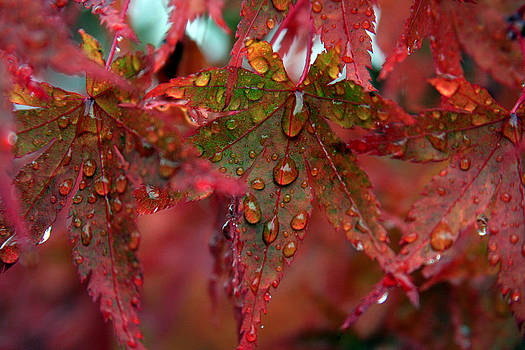 Japanese Maple After The Rain by Steve Raley
