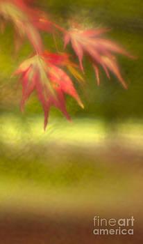 Angel  Tarantella - japanese maple