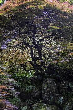 Bonnie Davidson - Japanese Maple