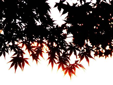 Japanese Maple by Christian Rooney