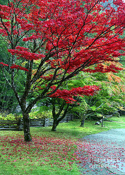 Japanese Maple by Kari Marttila