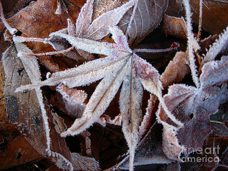Ellen Miffitt - Japanese Maple Leaf with Frost