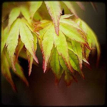 Japanese Maple, Leafing Out. Glorious by Kevin Smith