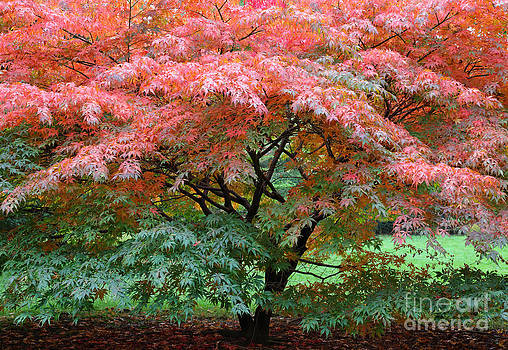 Japanese maple tree in autumn by Rosemary Calvert