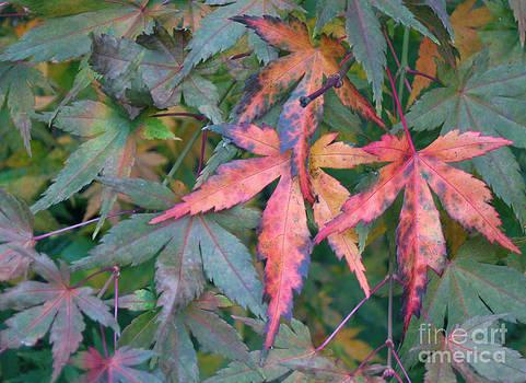 Ellen Miffitt - Japanese Maples Leaves Start to Turn Red