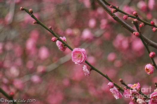Japanese Plum Tree by Bryan Cole Photography