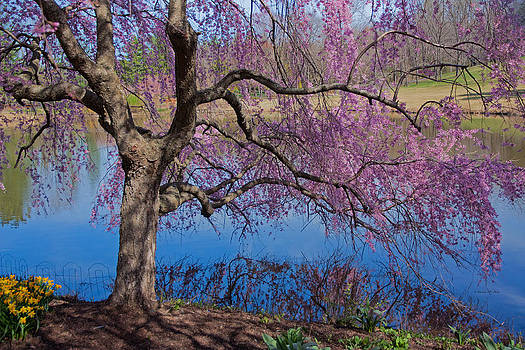 Japanese Weeping Cherry by Suzanne Stout