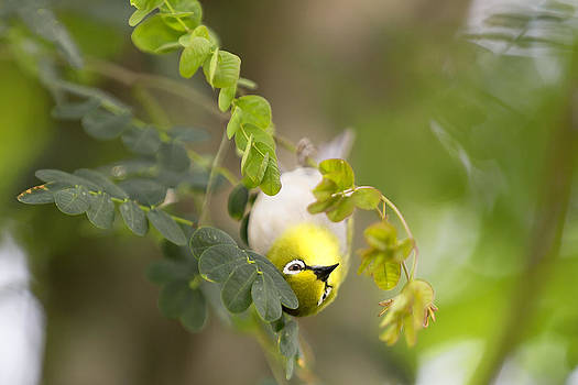 Japanese White Eyes Bird by Alex Galiano