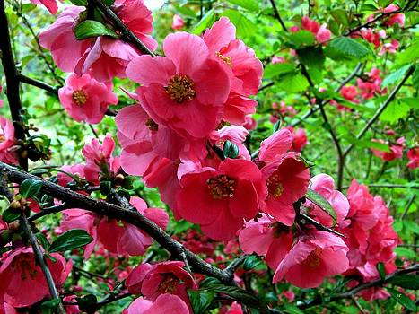 Japonica Blossoms by Will Borden