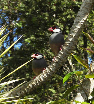 Java Sparrows by Colleen Cannon