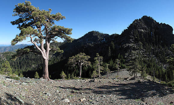 Jeffrey Pine in the Siskiyou Wilderness by Michael Kauffmann
