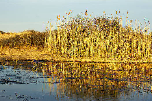 Golden Reeds by Jose Oquendo